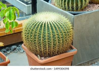 Large cactus Echinocactus grusonii, round green trunk and white yellow hard needles. Mexico succulent known as Golden Barrel Cactus, Golden Ball, Mother-in-Law Cushion spiky cactus