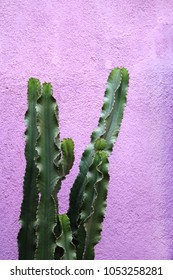 Large Cactus plant in front of a purple concrete wall