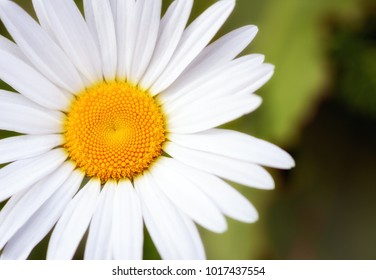 large camomile closeup in good quality.