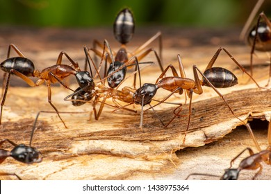 Large Camponotus carpenter ants foraging on dead wood on the rainforest floor