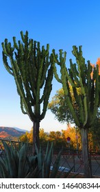 Large candelabra tree cactus against blue sky in Andalusian summer sunshine