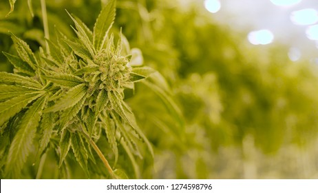 Large Cannabis Plant Bud Shallow Depth of Field Farm Background Commercial Grow Room For Recreational Marijuana Grow