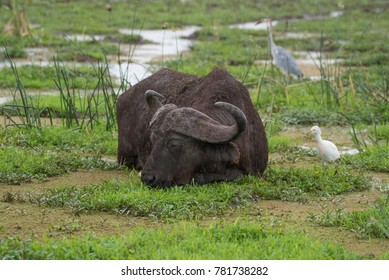 Large Cape water buffalo eating grass