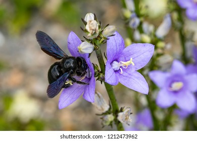 Large Carpenter Bee (Xylocopa violacea) on the flower