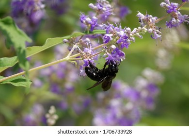 Large carpenter bee (Xylocopa  violacea)