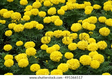 Large carpet blooming yellow flowers on stock photo edit now large carpet blooming yellow flowers on the flowerbed in summer tagetesa mightylinksfo