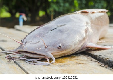 large catfish on wooden table