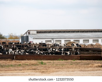 Large cattle farm. State farm supplies milk and meat to the entire South of Russia. Cows eat next to the cowshed. Concept of tasty and healthy ecological food
