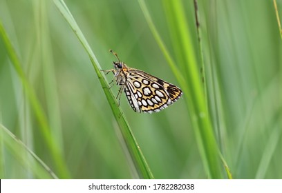 Large chequered skipper in the bog