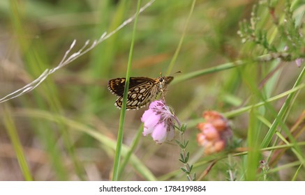 Large chequered skipper in the moorland