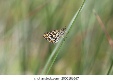 Large chequered skipper in the sun