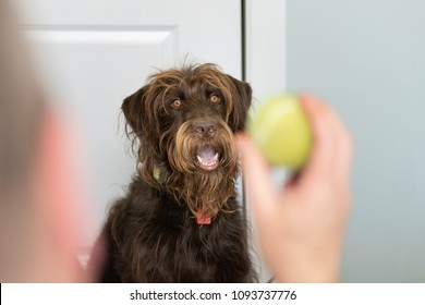 Large Chocolate Labradoodle waits patiently for his owner to through the tennis ball