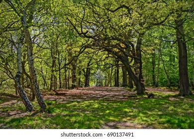 A  large clearing carpeted with dead leaves in Sherwood forest amidst the oak and silver birch trees.
