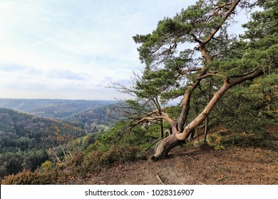 Large cloping pine tree on the edge of gorge with hills in the background