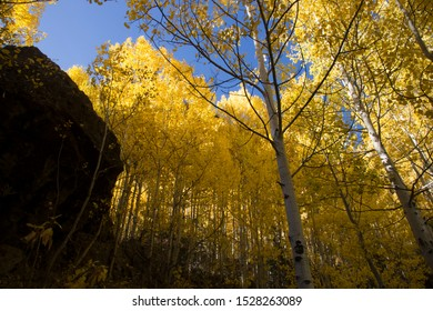 Large cluster of Aspens with Fall color change looking up to sky with no clouds in the background