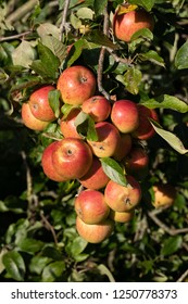 A large cluster of fresh apples growing on a tree