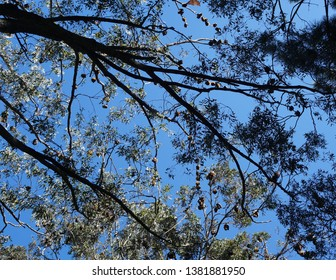 Large cluster of grey headed flying foxes hanging from paperbark branches