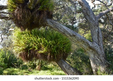 Large clusters of kiekie epiphytes on branches of pohutukawa tree.