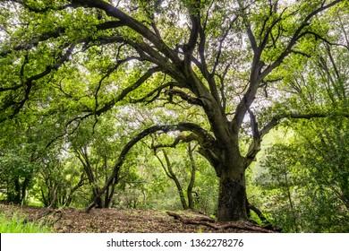 Large coast live oak tree providing shade, San Jose, south San Francisco bay area, California