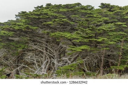 Large coastal cypress trees in Point Lobos State Reserve near Monterey, California, along the Pacific Coast Highway