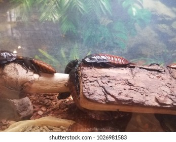 large cockroaches on log