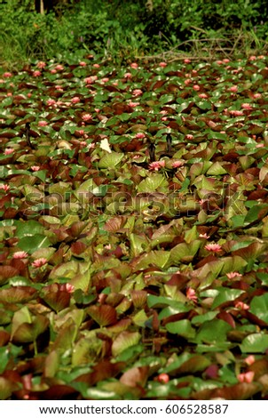 Large collection of water lillies on pond