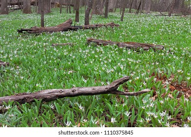 A large colony of white trout lilies spreads through fallen charred logs of  the forest floor. Trout lilies are one of the first wildflowers to announce the rebirth of spring.