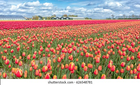 Large colorful field of tulips in the Netherlands under a blue sky with clouds