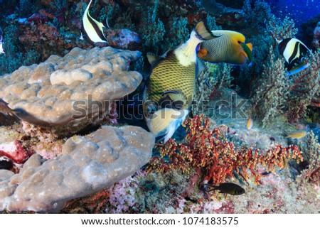 Large colorful Titan Triggerfish