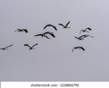 Large Common Crane Flocks, Grus grus flaing in Hortobágy National Park, Hungary