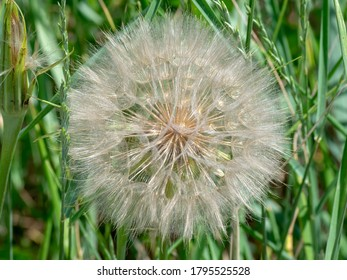 Large common salsify seed head; the translucent qualities of the fans are clearly visible.