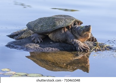 Large Common Snapping Turtle (Chelydra serpentina) basking on a rock - Haliburton, Ontario, Canada