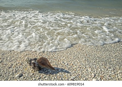 Large Conch Shell lies just out of the surf on Sanibel Island.