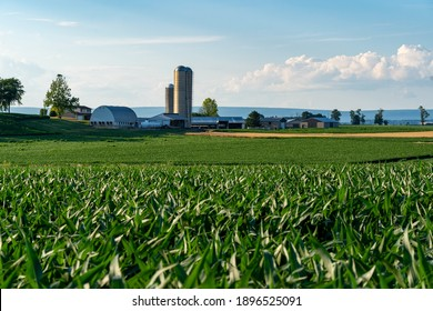A large corn field with a farm in the background in the light of the evening sun.