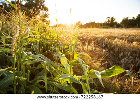 large corn field at sunset, close-up.