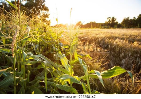 large corn field at sunset, close-up.