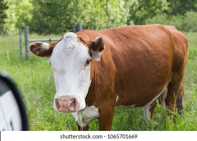 Large cow with brown and white fur (Hereford) standing in tall, green grass.