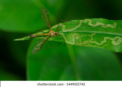 A Large Crane Fly is resting on a green leaf. Colloquially known as a Mosquito Hawk. Taylor Creek Park, Toronto, Ontario, Canada.