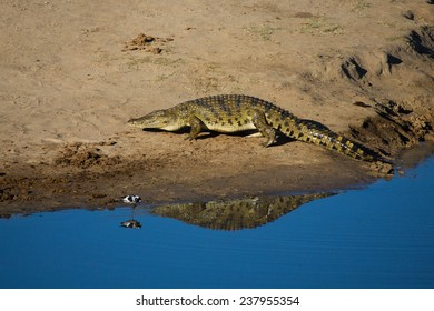 A large crocodile leaving the water