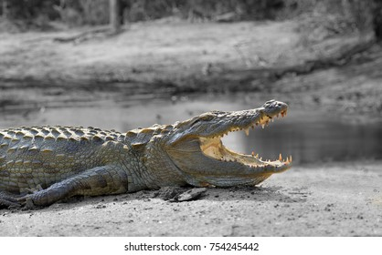 Large crocodile, National Park, Sri Lanka. Black and white photography with color crocodile