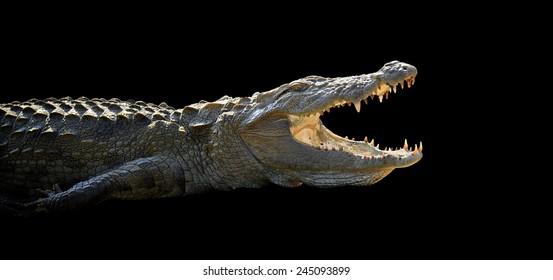 Large crocodile on dark background