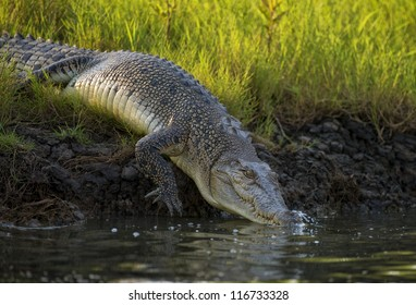 Large crocodile slips into the river