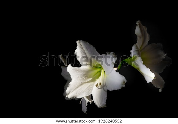 large-cupshaped-white-hippeastrum-flower