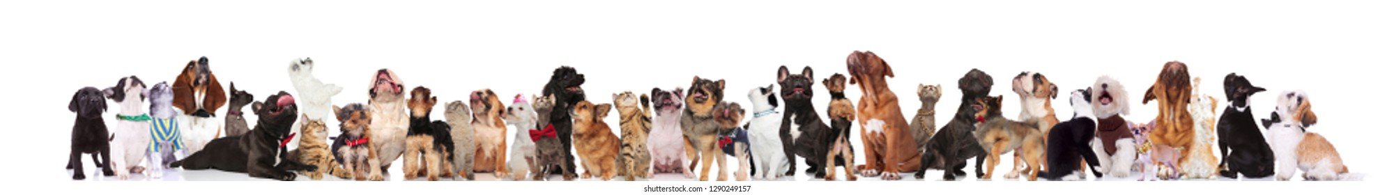large curious group of adorable pets looking up while standing and sitting on white background. They are wearing bowties and collars