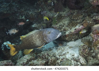 A large cute curious tropical offshore coral reef fish, a Yellowfin Emperor (Lethrinus erythracanthus), on a coral reef in the popular holiday dive destination of the Maldives Islands