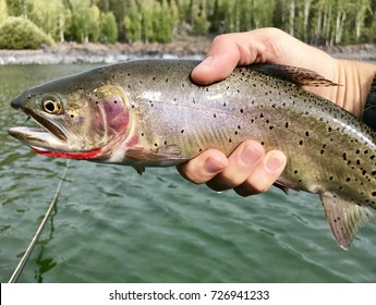 A large cutthroat trout fish caught by a fly fisherman in an alpine lake