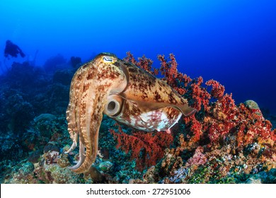 Large Cuttlefish deep underwater with background SCUBA divers