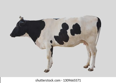 Large dairy cattle on a white background with clipping path