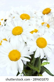 Large daisies closeup on a white background