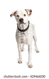 Large Dalmatian mixed breed dog standing over white looking into camera